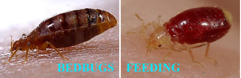 Bed bugs fort worth
